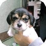 ビーグル ブリーダー 子犬販売の専門店 AngelWan 横浜