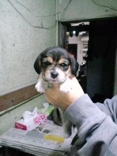 ビーグル ブリーダー 子犬販売の専門店 AngelWan 滋賀 三重 岐阜 静岡