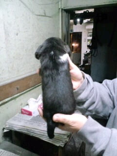 ビーグル ブリーダー 子犬販売の専門店 AngelWan TOKYO 全国対応可能