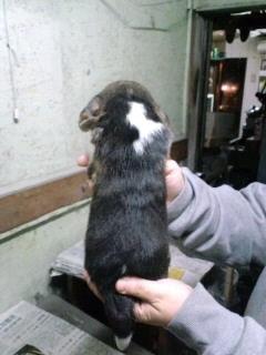 ビーグル ブリーダー 子犬販売の専門店 AngelWan 港北区 青葉区 緑区