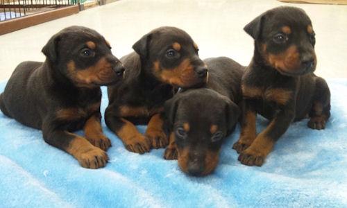 4匹のド―ベルマンの子犬たち