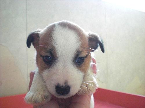 ジャックラッセルテリア ブリーダー 子犬販売の専門店 AngelWan ペットショップ 横浜