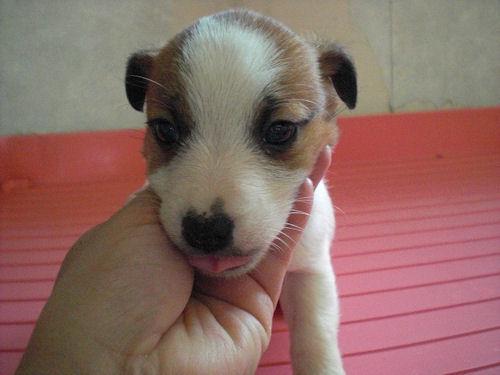 ジャックラッセルテリア ブリーダー 子犬販売の専門店 AngelWan 都筑区 港北区