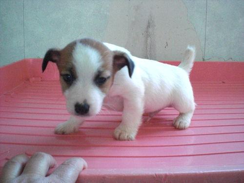 ジャックラッセルテリア ブリーダー 子犬販売の専門店 AngelWan 港南区 青葉区