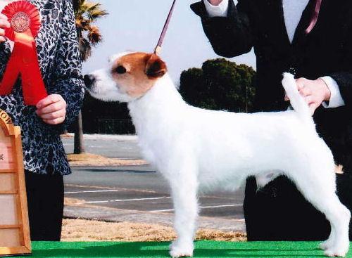 ジャックラッセルテリア ブリーダー 子犬販売の専門店 AngelWan JKC 父犬 ショー