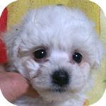 ビションフリーゼ ブリーダー 子犬販売の専門店 AngelWan 横浜