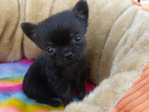 チワワ ブリーダー 子犬販売の専門店 AngelWan 東京 千葉 神奈川 ロングコート