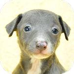 イタグレ ブリーダー 子犬販売の専門店 AngelWan   横浜