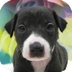 イタリアングレーハウンド ブリーダー 子犬販売の専門店 AngelWan  横浜