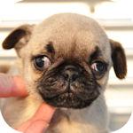 パグ ブリーダー 子犬販売の専門店 AngelWan 横浜