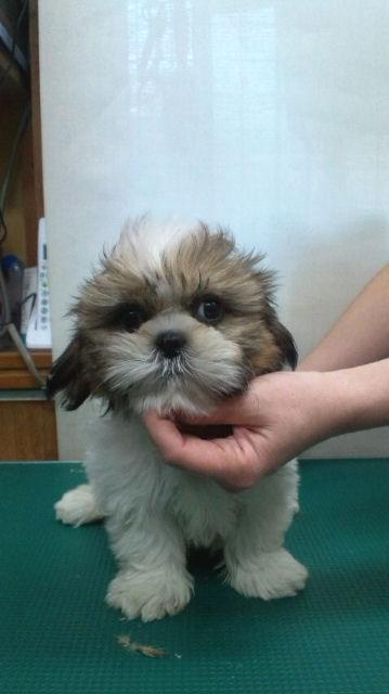 シーズー ブリーダー 子犬販売の専門店 AngelWan  栄区 港南区 戸塚区 泉区