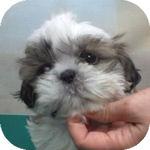 シーズー ブリーダー 子犬販売の専門店 AngelWan 横浜