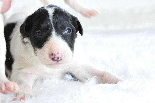 ボルゾイ ブリーダー 子犬販売の専門店 AngelWan 港北区 青葉区 都筑区 緑区