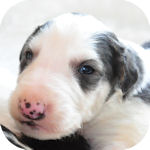 ボルゾイ ブリーダー 子犬販売の専門店 AngelWan 横浜