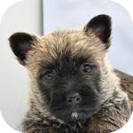 ケアーンテリア ブリーダー 子犬販売の専門店 AngelWan 横浜