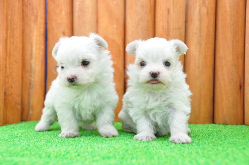 マルチーズ ブリーダー 子犬販売の専門店 AngelWan 福岡 兵庫 愛知 岡山 千葉
