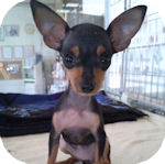 ミニチュアピンシャー ブリーダー 子犬販売の専門店 AngelWan 横浜