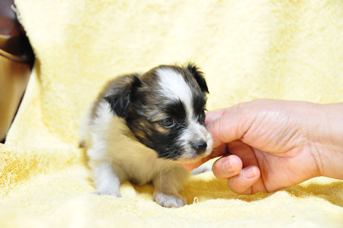 パピヨン ブリーダー 子犬販売の専門店 AngelWan 湘南 鎌倉 藤沢 茅ヶ崎 平塚