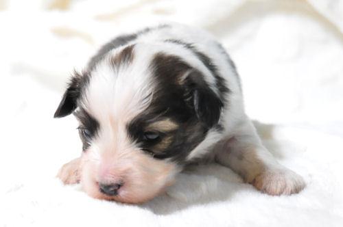 パピヨン ブリーダー 子犬販売の専門店 AngelWan 福岡 兵庫 愛知 岡山 大阪