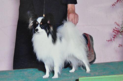 パピヨン ブリーダー 子犬販売の専門店 AngelWan 港北区 都筑区 青葉区 鶴見区