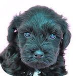 ミニチュアシュナウザー ブリーダー 子犬販売の専門店 AngelWan 横浜