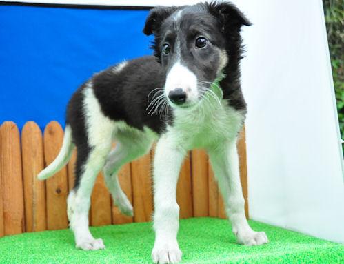 ボルゾイ 子犬