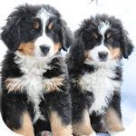 バーニーズマウンテンドッグ ブリーダー 子犬販売の専門店 AngelWan 横浜