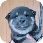 柴犬 ブリーダー 子犬販売の専門店 AngelWan 横浜