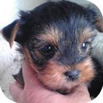 ヨークシャーテリア ブリーダー 子犬販売の専門店 AngelWan 横浜