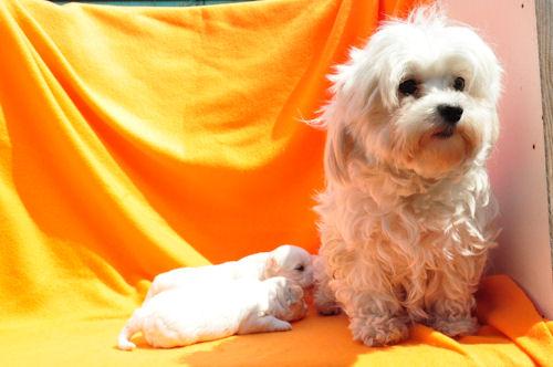 ミックス犬(チワワ×マルチーズ)の子犬 AW103002,ブリーダーの