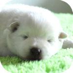 スピッツ ブリーダー 子犬販売の専門店 AngelWan 横浜