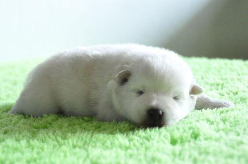 スピッツ ブリーダー 子犬販売の専門店 AngelWan 神奈川 東京 千葉 埼玉 茨城