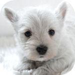 ウエスティー ブリーダー 子犬販売の専門店 AngelWan 横浜