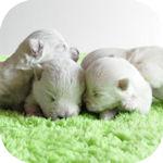 ウエストハイランドホワイトテリア ブリーダー 子犬販売の専門店 AngelWan 横浜