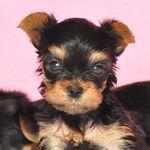 ヨークシャーテリア ブリーダー子犬販売の専門店 Angel wan 横浜