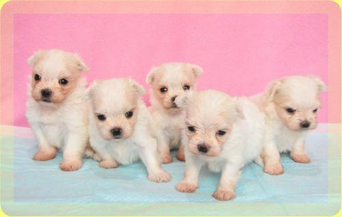 マルチーズ ブリーダー子犬販売の専門店 Angel wan 東京 神奈川 千葉