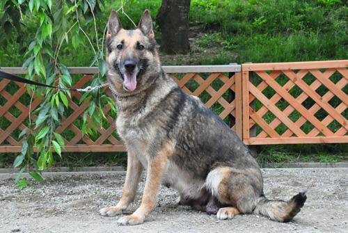 ジャーマンシェパード ブリーダー 子犬販売の専門店 AngelWan 横浜 神奈川県 ペットショップ
