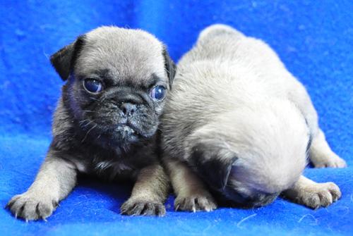 パグ フォーン オスとメス 子犬販売の専門店 AngelWan 横浜 神奈川県 ペットショップ
