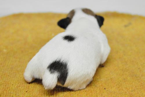 ジャックラッセルテリア タン&ホワイト 子犬販売の専門店 AngelWan 横浜 神奈川