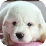 グレートピレニーズ ブリーダー 子犬販売の専門店 AngelWan 横浜