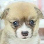 コーギー ブリーダー 子犬販売の専門店 AngelWan 横浜 神奈川県