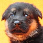 ジャーマンシェパード ブリーダー 子犬販売の専門店 AngelWan 横浜