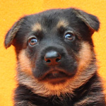 ジャーマンシェパード ブリーダー 子犬販売の専門店 AngelWan 横浜 神奈川県