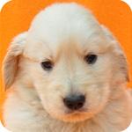 ゴールデンレトリバー ブリーダー 子犬販売の専門店 AngelWan 横浜 神奈川 ペットショップ