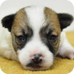 ジャックラッセルテリア タン&ホワイト メス 子犬販売の専門店 AngelWan