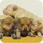 ポメラニアン クリーム オレンジ オス メス 子犬販売の専門店 AngelWan