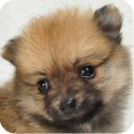 ポメラニアン オレンジ メス 子犬販売の専門店 AngelWan