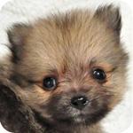 ポメラニアン クリームセーブル 子犬販売の専門店 AngelWan 横浜