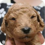 スタンダードプードル アプリコット メス 子犬販売の専門店 AngelWan 横浜