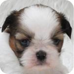 シーズー ホワイト&ゴールド メス 子犬販売の専門店 AngelWan 横浜 神奈川県